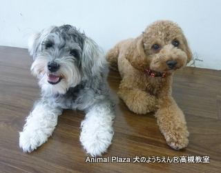 犬のようちえん高槻教室130811 (10)