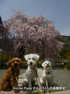クララ桜散歩
