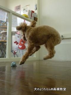 自分でオモチャを投げては取りに行ってはまた投げて、ひとりではしゃいで遊んでるココアくん♪