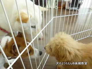 犬のようちえん高槻教室20150129 (4)