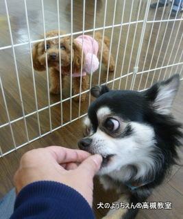 犬のようちえん高槻教室20150129 (8)